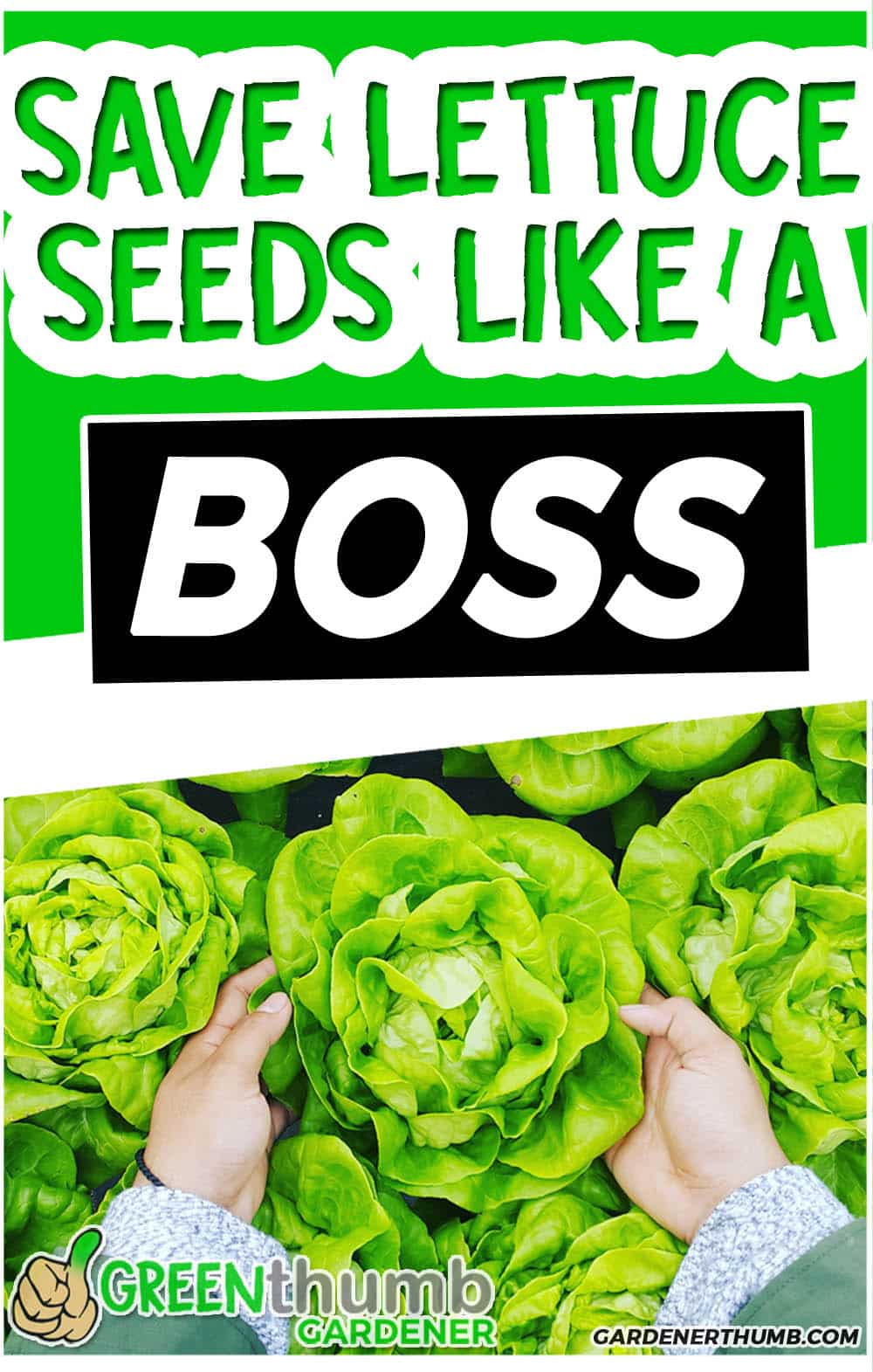 How to save lettuce seeds