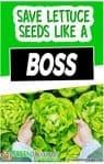save lettuce seeds