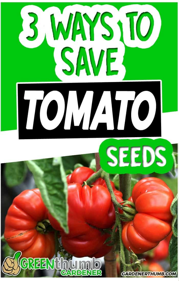 saving tomato seeds for next year