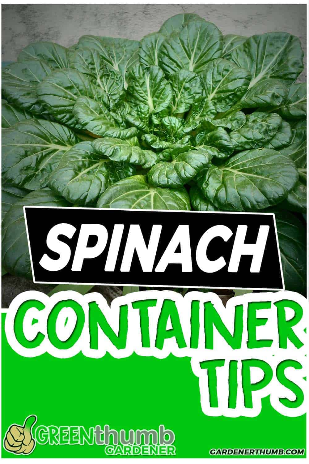 growing spinach containers