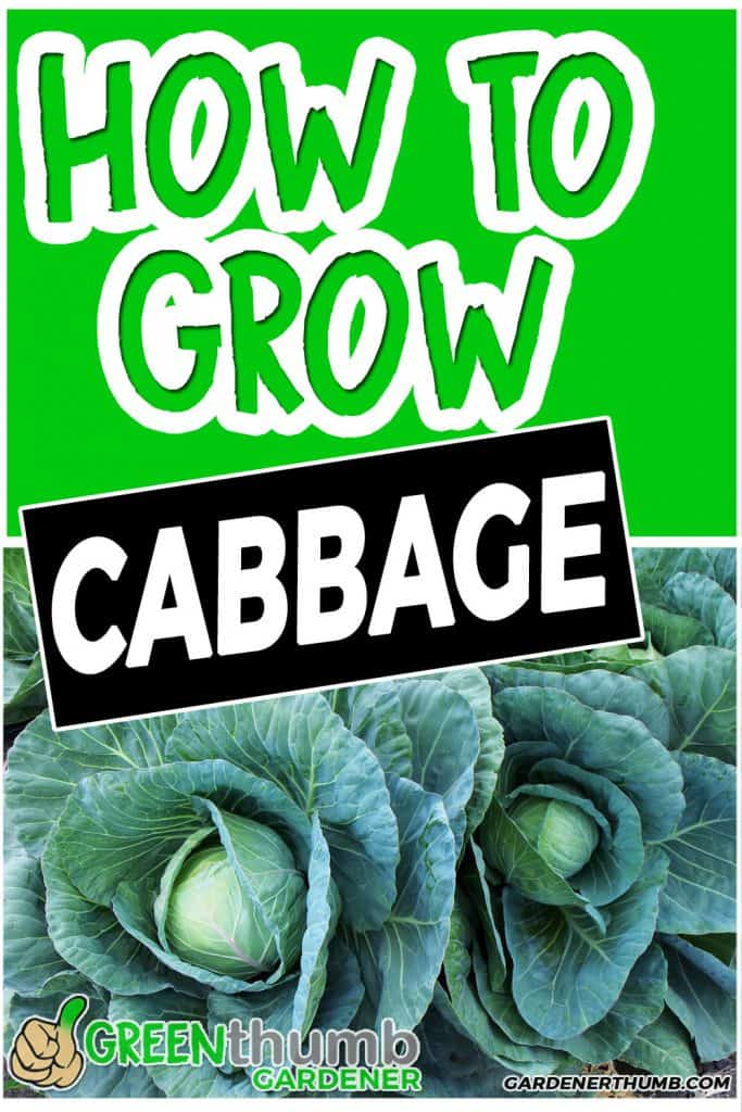 growing cabbage tips