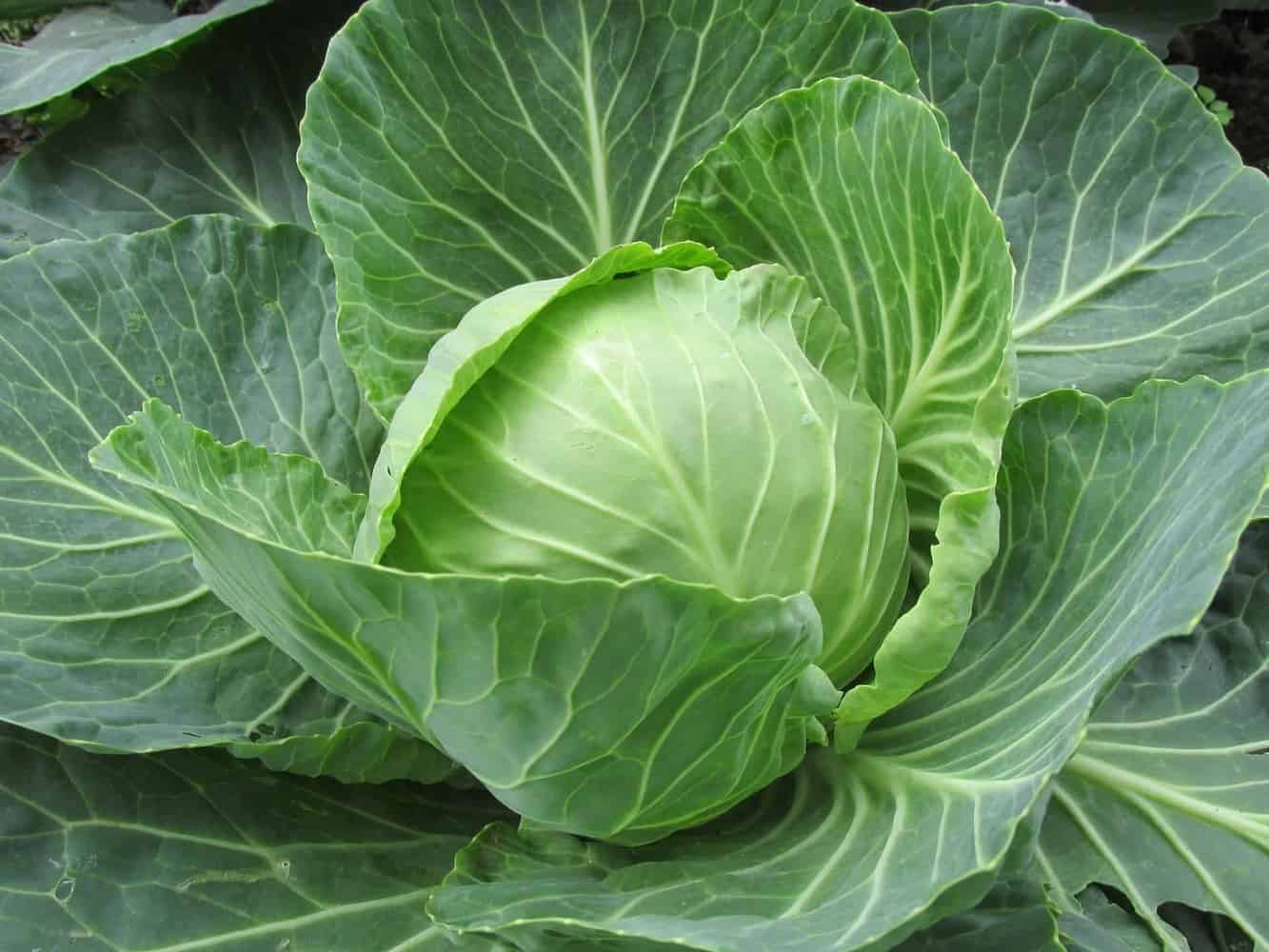 growing a cabbage