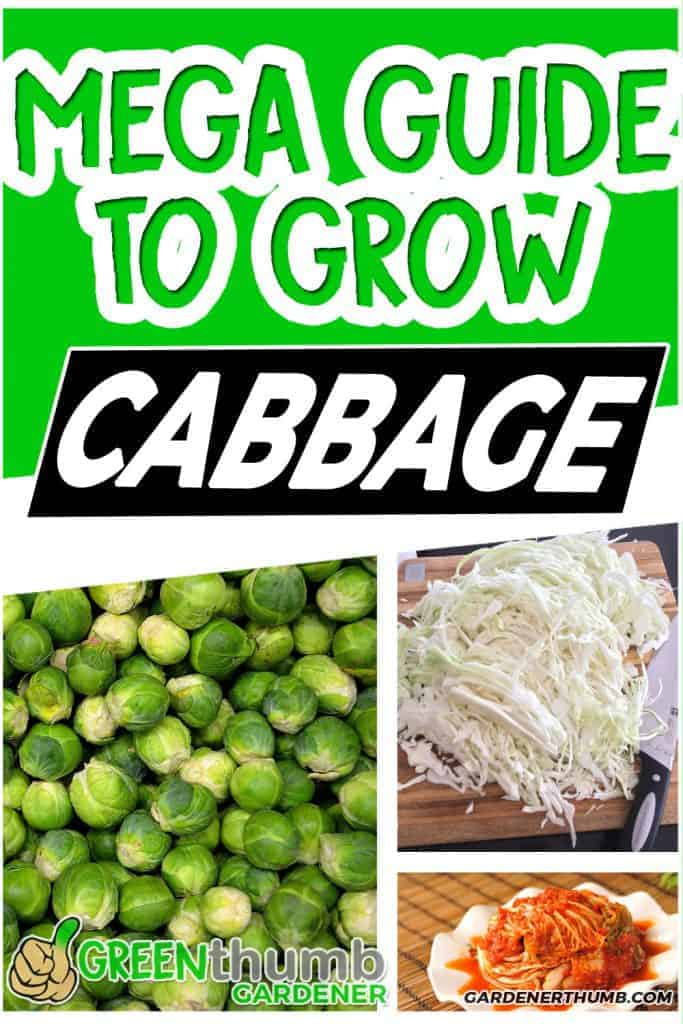 Grow cabbage guide