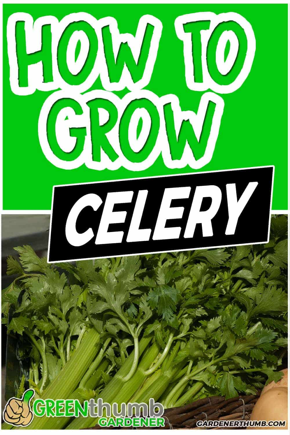 growing celery from seed