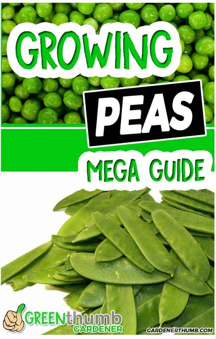 growing peas garden