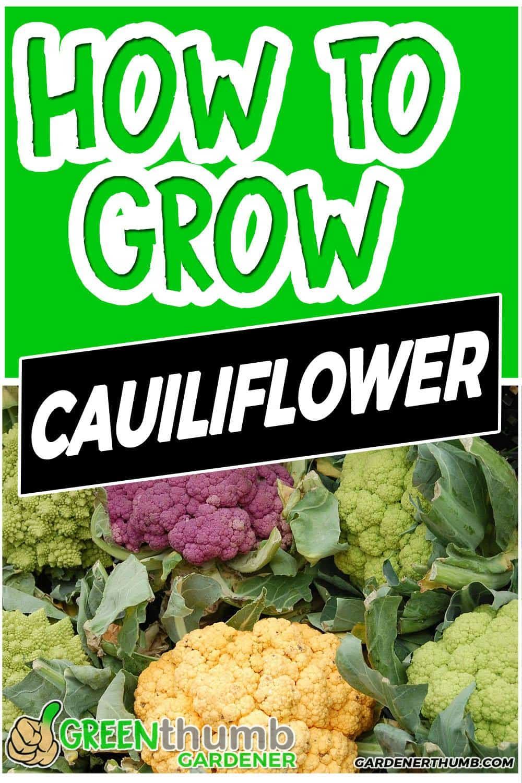 growing cauliflower guide