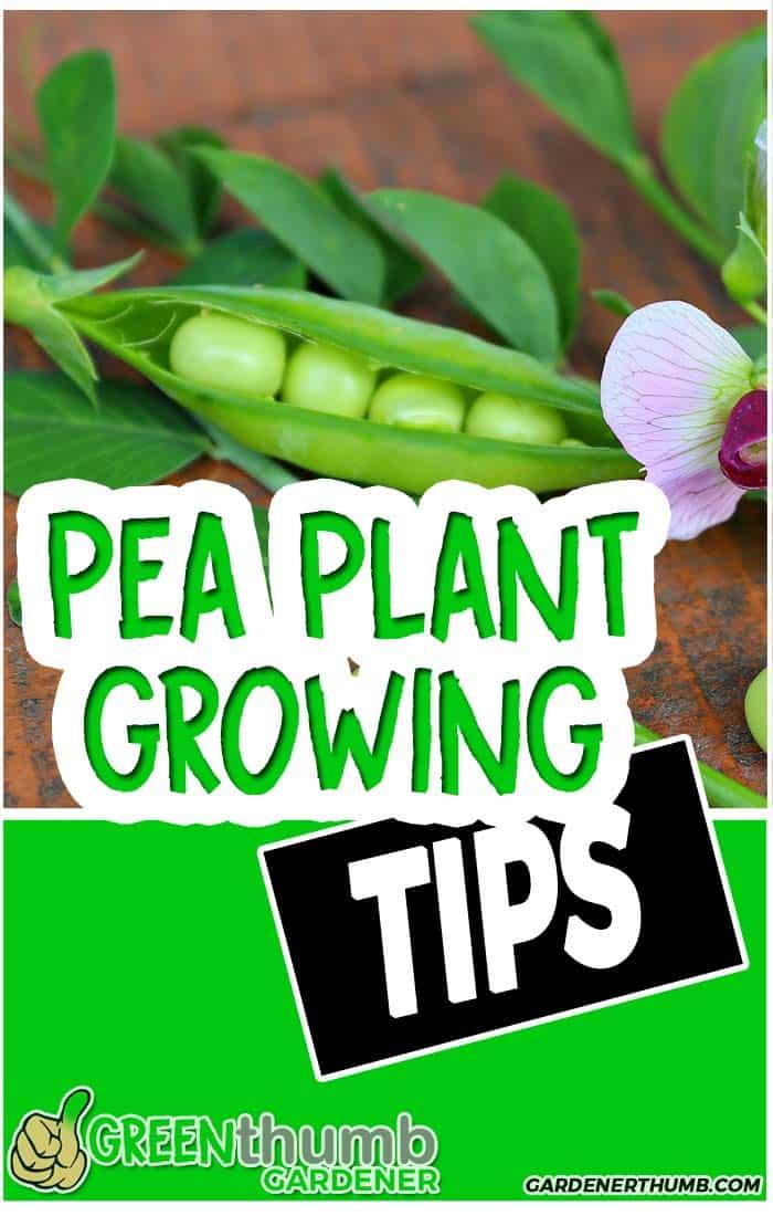 growing sugar snap peas tips
