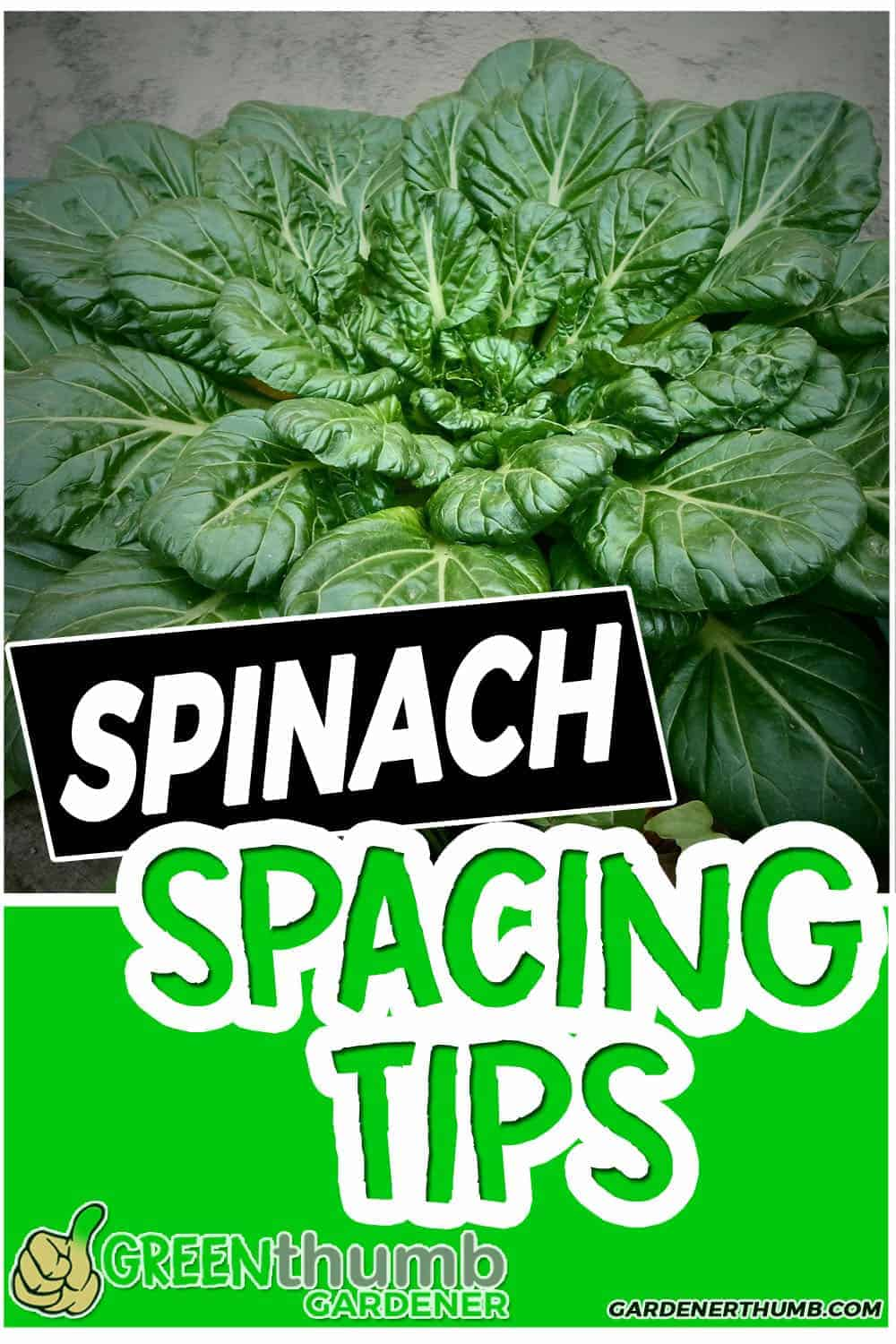 spinach plant spacing