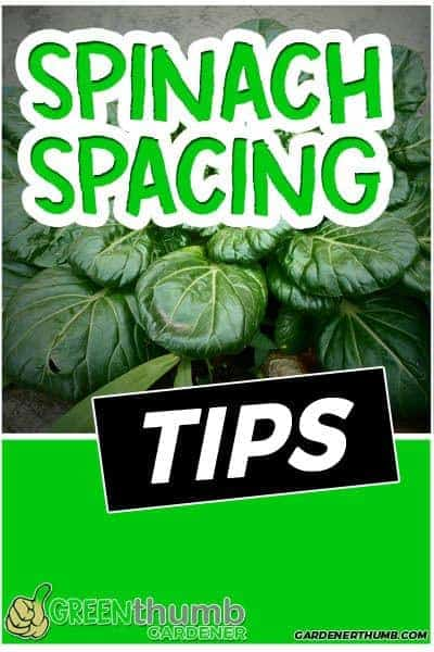 spinach spacing tips