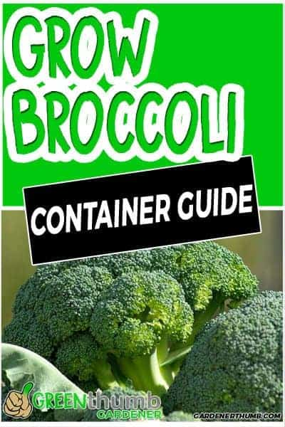 growing broccoli container