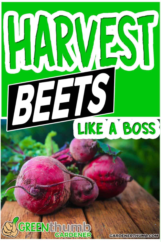 beet harvesting