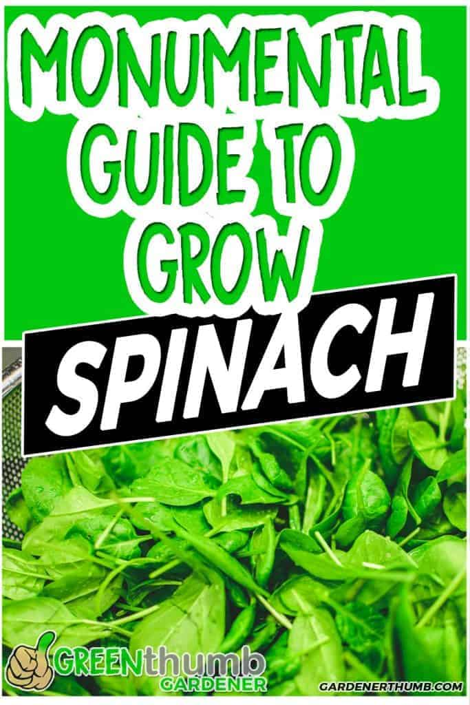 growing spinach guide