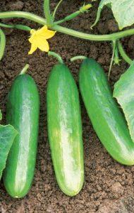 Diva Cucumbers