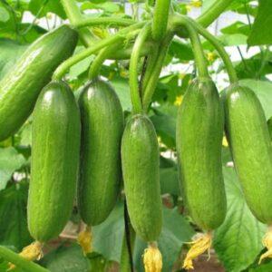 Mini Munch Cucumber