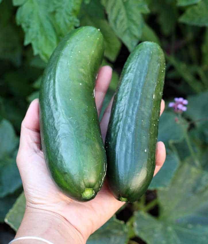 Persian Green Finger Cucumber