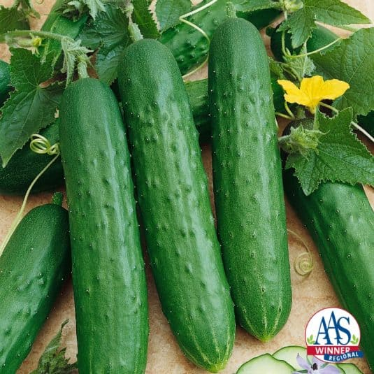 SaladMore Bush F1 Cucumber