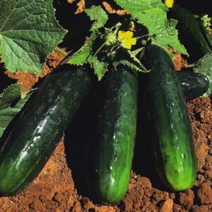 Spacemaster Cucumbers