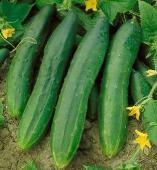 Tendergreen Cucumber