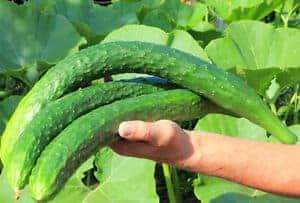 chinese snake cucumber