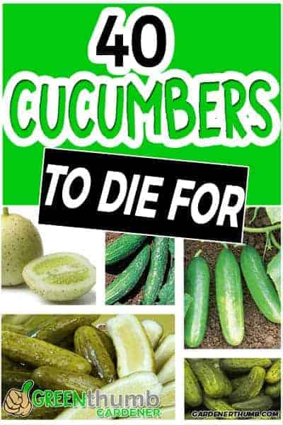 cucumber variety