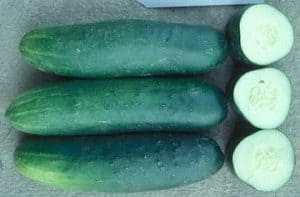 dasher II cucumbers