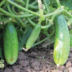 double yield cucumbers