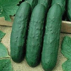 eureka cucumber