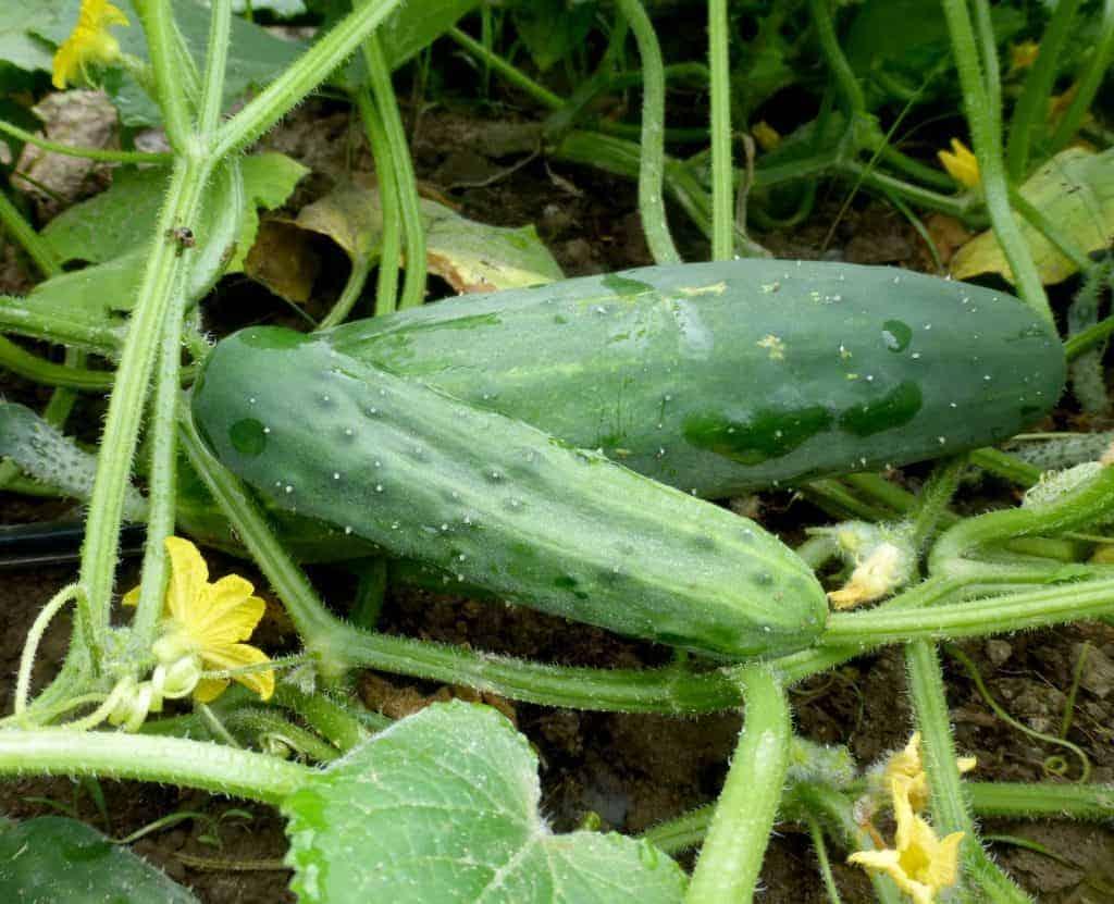 marketmore 76 cucumber