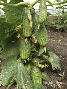 northern pickling cucumber