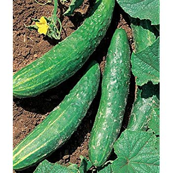 orient express cucumber