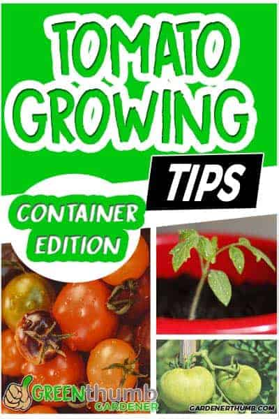 growing tomatoes container tips