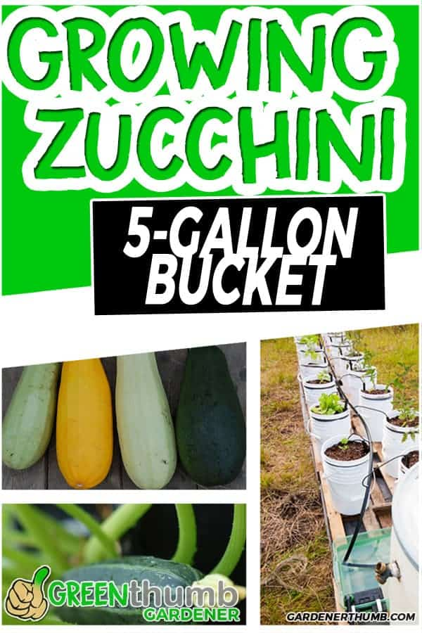 Why Grow Zucchini In a 5 Gallon Bucket