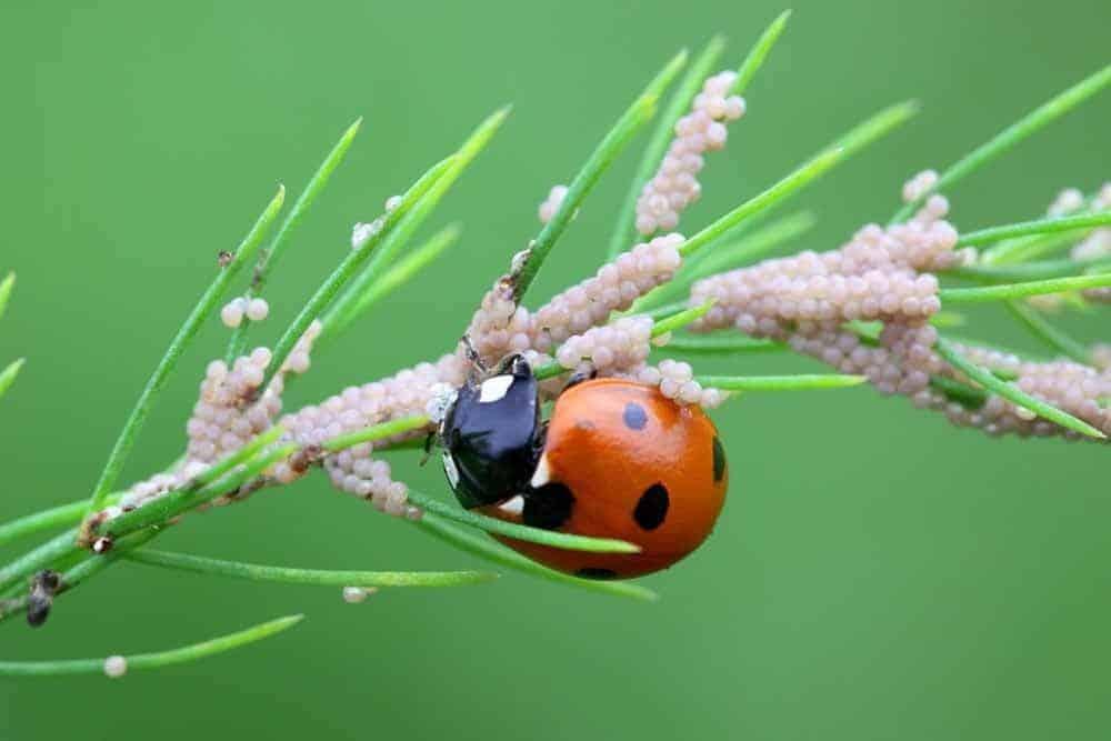 ladybugs organic pest control