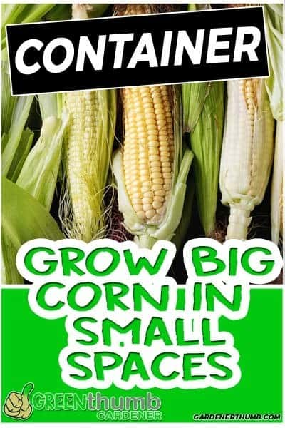 Can You Grow Corn In A Pot