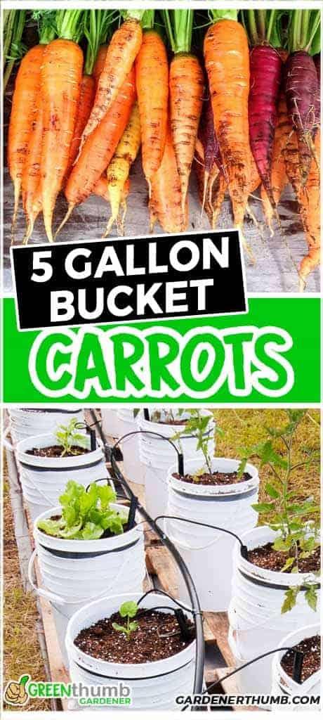 Growing Carrots In A 5 Gallon Bucket