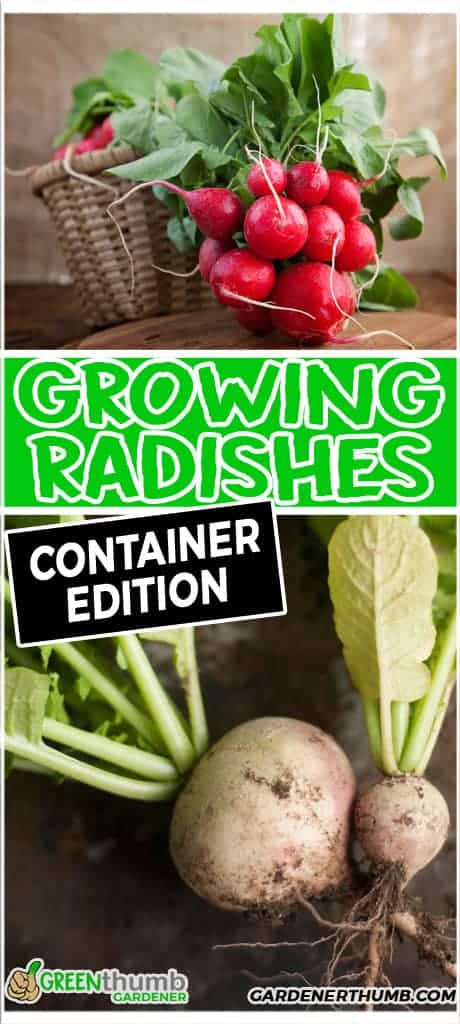 growing radishes in containers