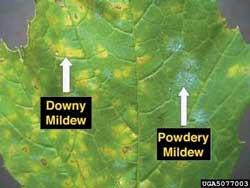 downy powderey mildew