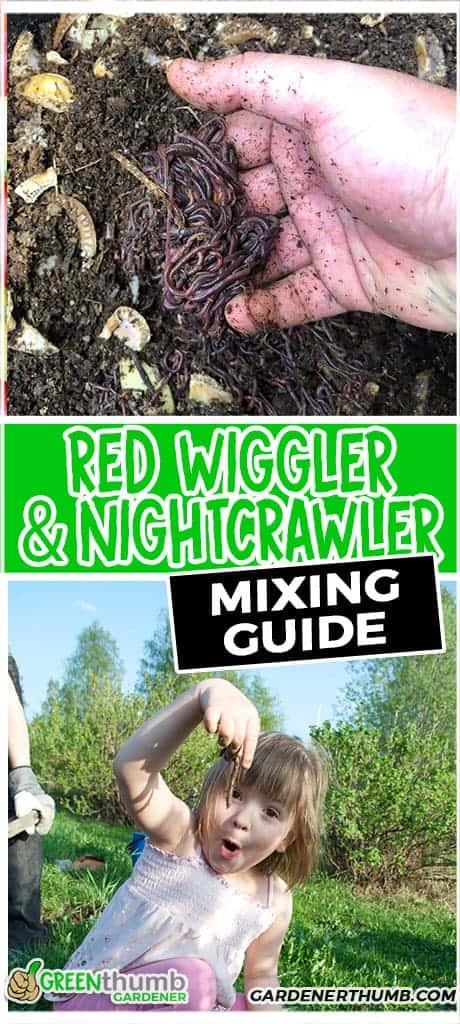 nightcrawler and red wriggler mixing