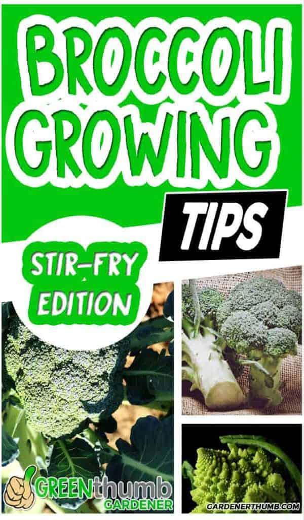 growing broccoli tips