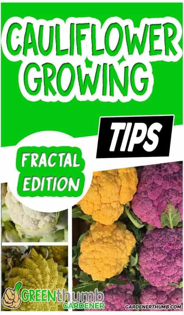 growing cauliflower best tips