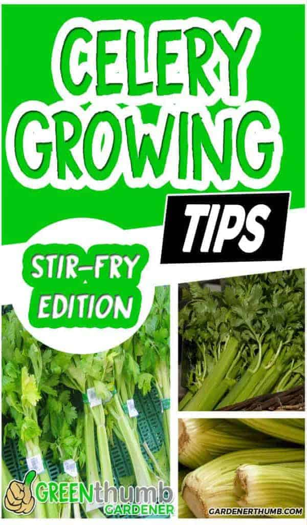 growing celery travel back in time