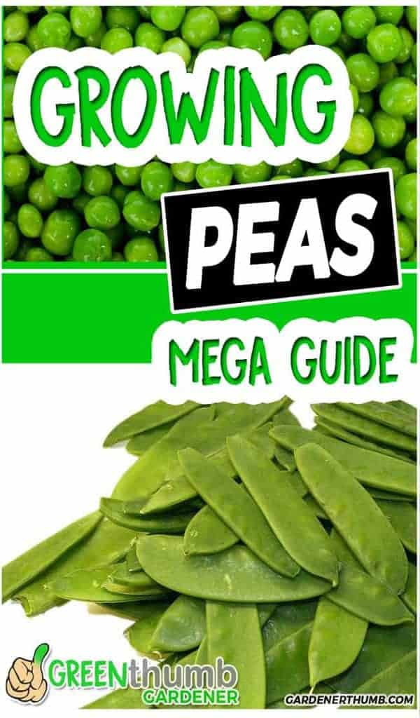 growing pea garden tips