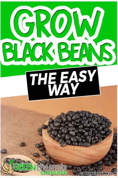 grow black beans