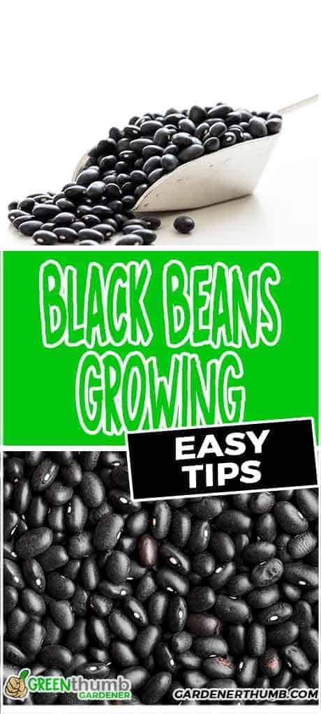 easy black beans growing