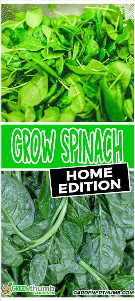 how to grow spinach at home