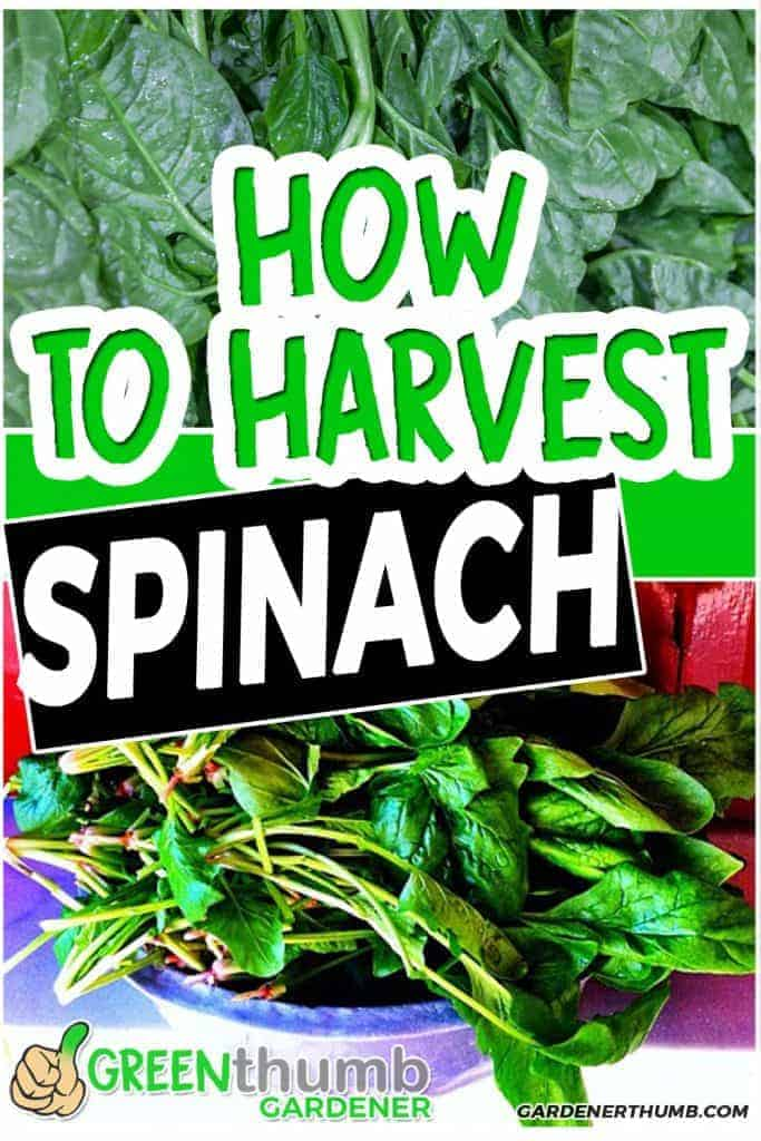 harvest spinach