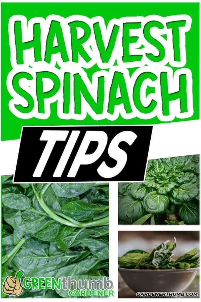 how to harvest spinach