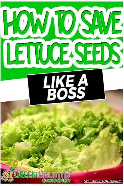 saving lettuce seeds