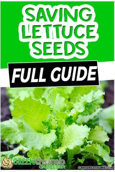 lettuce seed saving