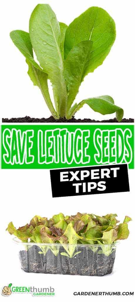 saving seeds for lettuce